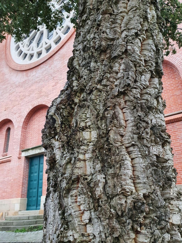 Quercus suber - chêne liège - Page 3 20201127