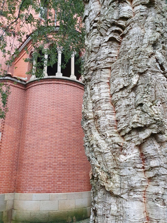 Quercus suber - chêne liège - Page 3 20201128