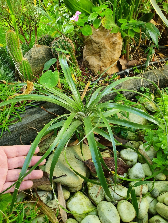 Puya chilensis - Page 2 20201132