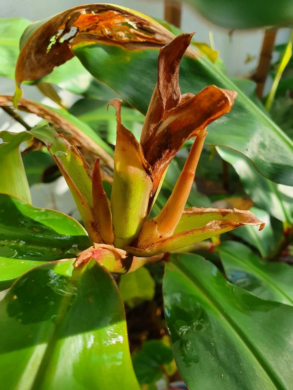 Hedychium greenii - Page 3 20201140