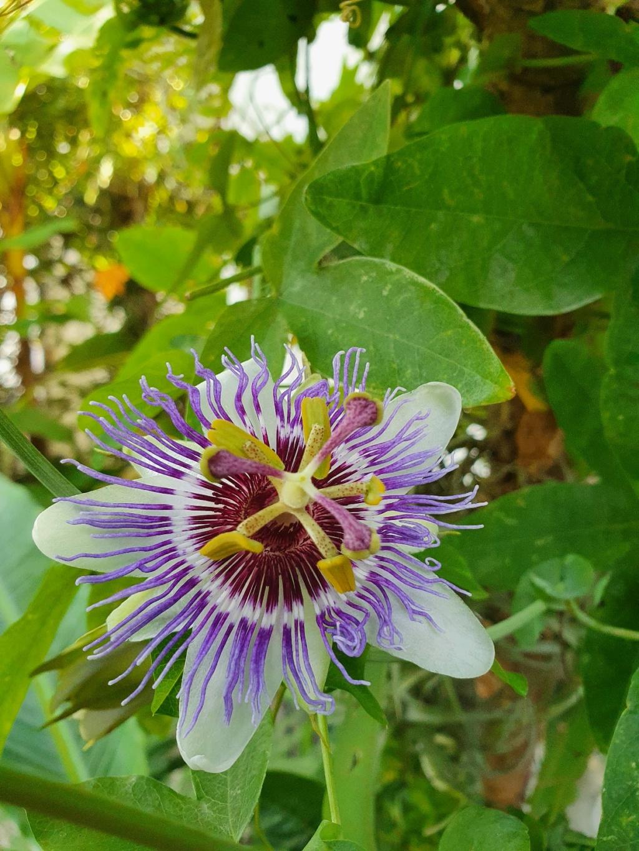 Passiflora 'Purple Haze' - Page 2 20201143