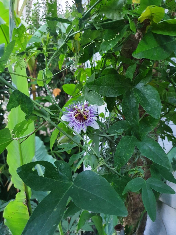 Passiflora 'Purple Haze' - Page 2 20201145