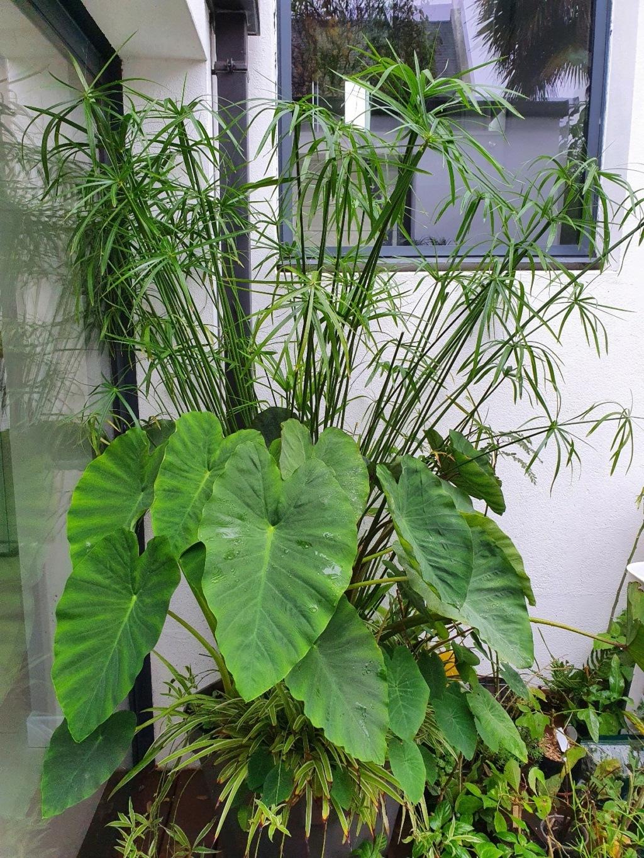 Colocasia esculenta - taro - Page 12 20201152