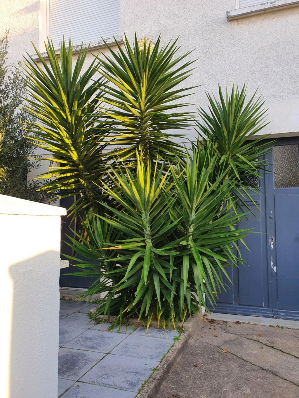 Yucca elephantipes - Yucca gigantea - Yucca guatemalensis - Page 6 20201229