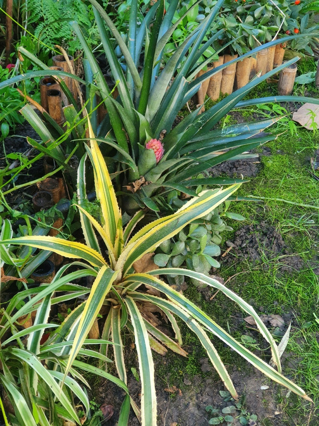 Bromeliaceae - famille - collections  - Page 6 20210125