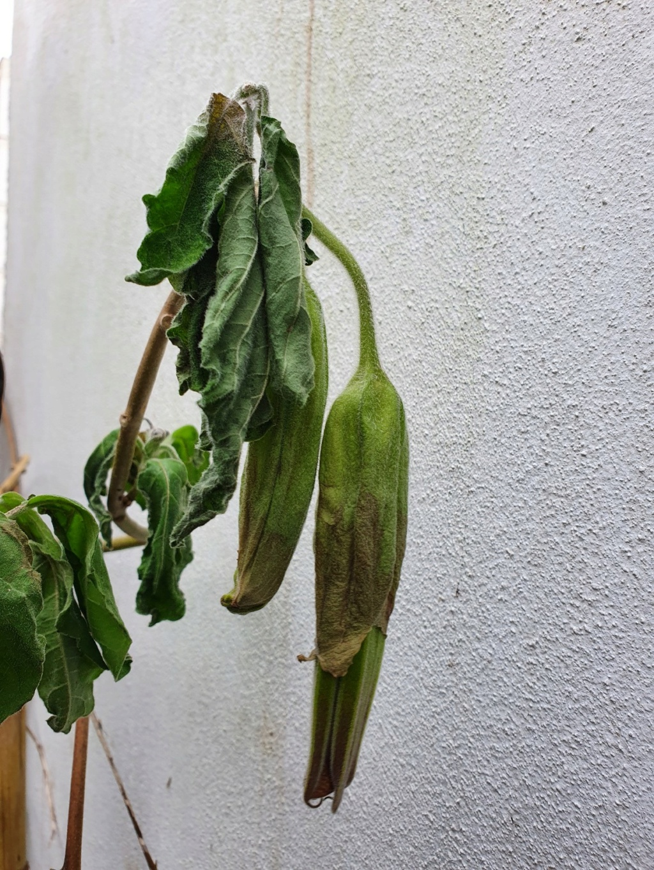 Brugmansia sanguinea - Page 4 20210153