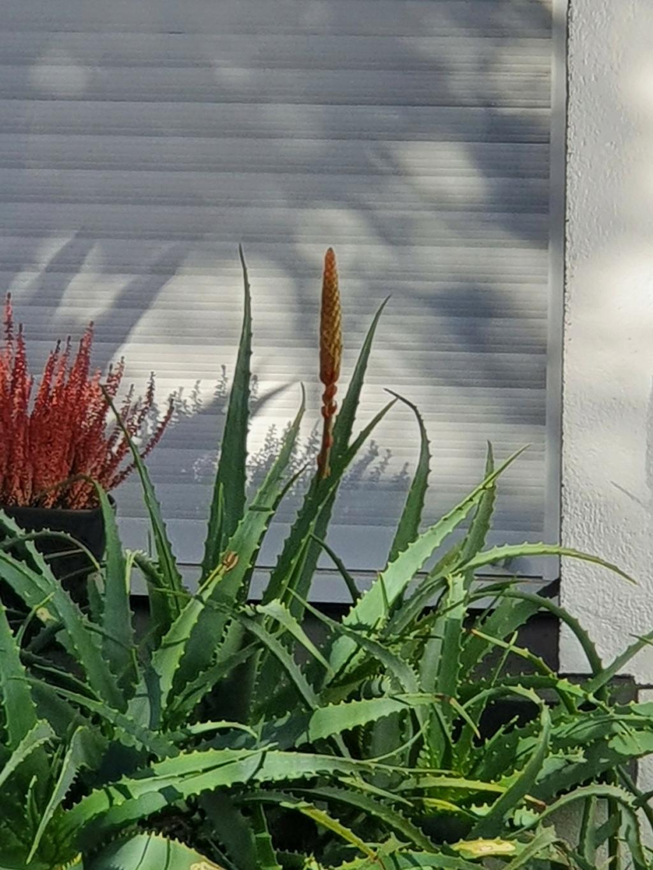 Aloe arborescens - Page 2 20210156
