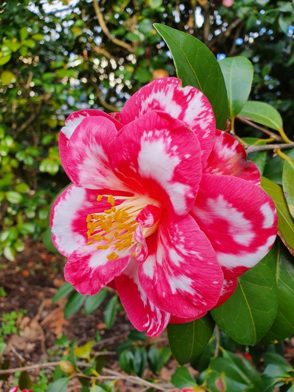 Camellia - choix & conseils de culture - Page 3 20210161