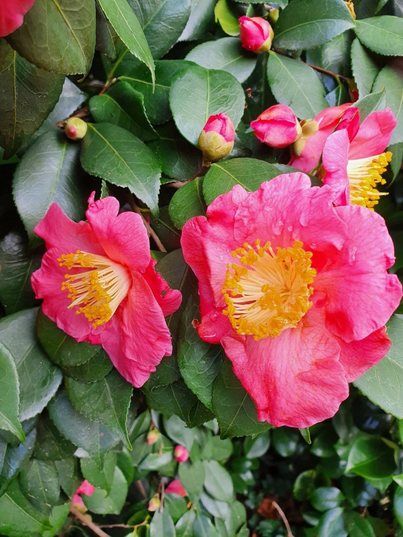 Camellia - choix & conseils de culture - Page 3 20210162