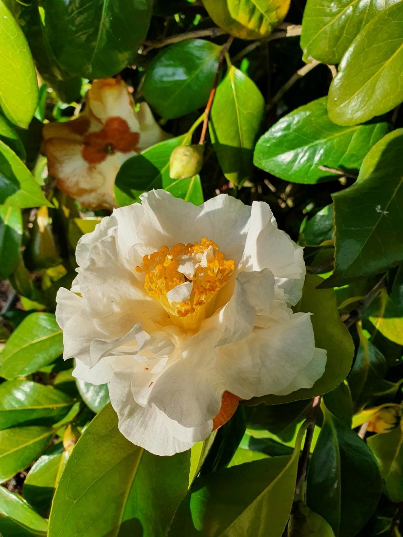 Camellia - choix & conseils de culture - Page 3 20210163