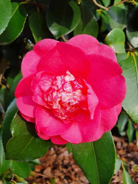 Camellia - choix & conseils de culture - Page 3 20210164