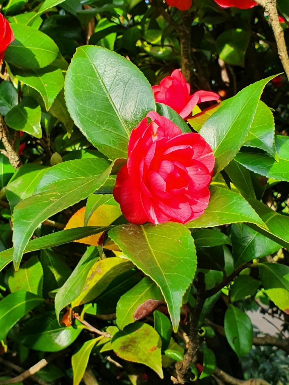 Camellia - choix & conseils de culture - Page 3 20210171