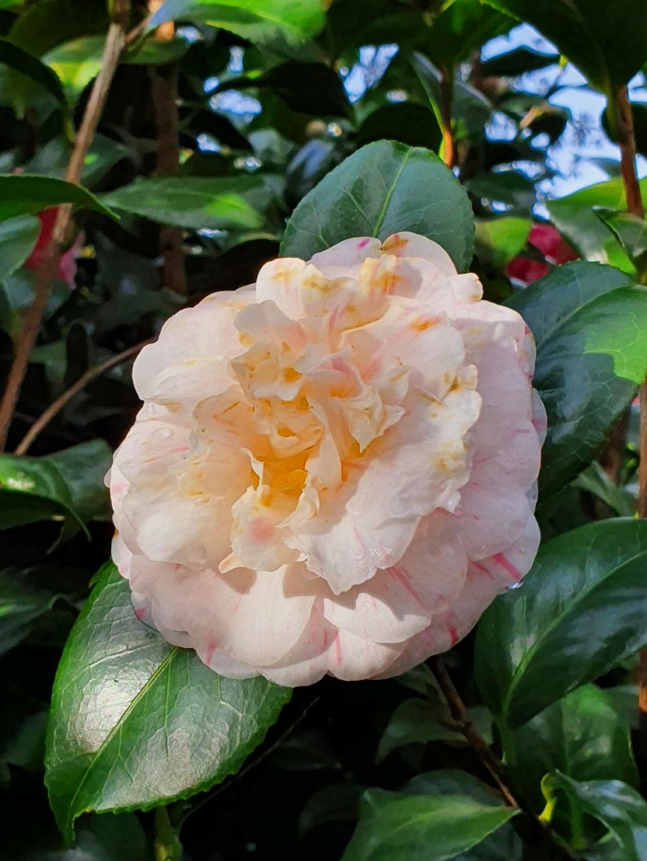 Camellia - choix & conseils de culture - Page 3 20210172