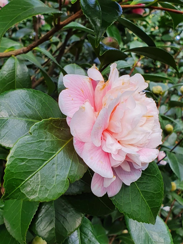Camellia - choix & conseils de culture - Page 3 20210174