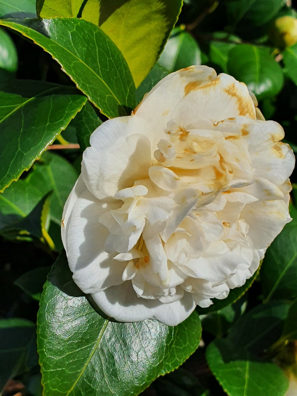 Camellia - choix & conseils de culture - Page 3 20210176