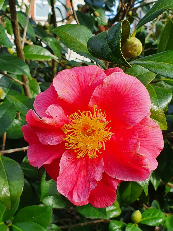 Camellia - choix & conseils de culture - Page 3 20210179
