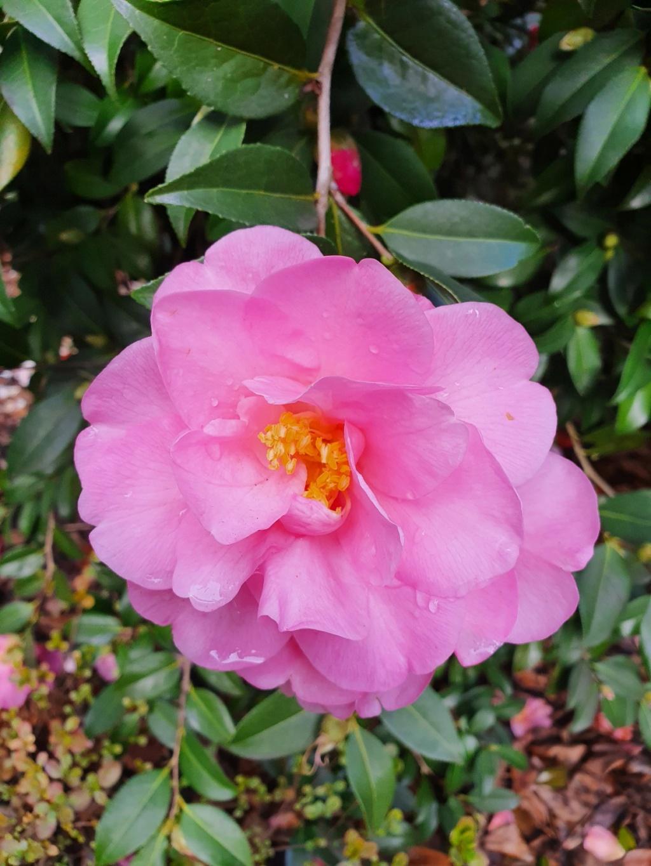 Camellia - choix & conseils de culture - Page 3 20210180