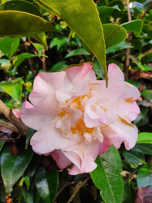 Camellia - choix & conseils de culture - Page 3 20210182