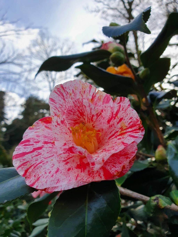 Camellia - choix & conseils de culture - Page 3 20210185