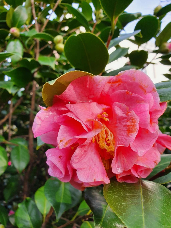 Camellia - choix & conseils de culture - Page 3 20210186