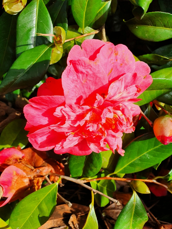 Camellia - choix & conseils de culture - Page 3 20210187