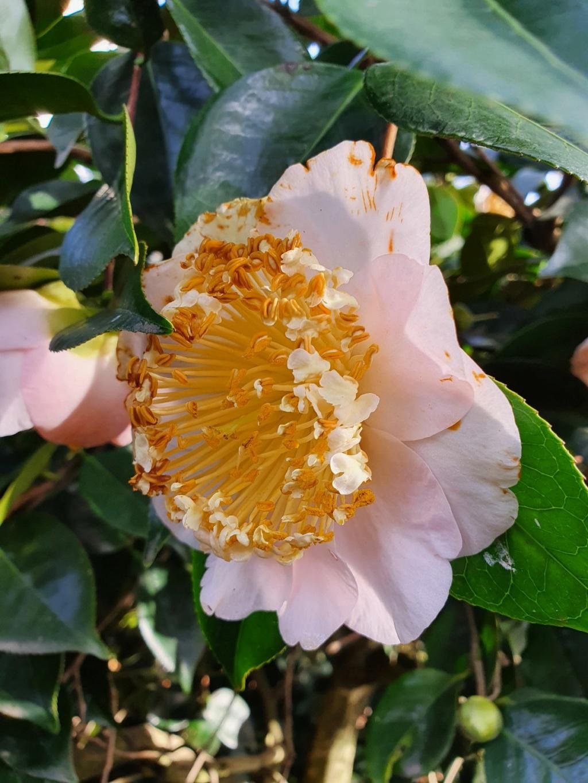Camellia - choix & conseils de culture - Page 3 20210188