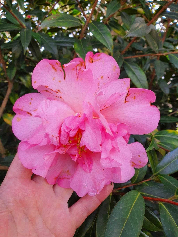 Camellia - choix & conseils de culture - Page 3 20210189
