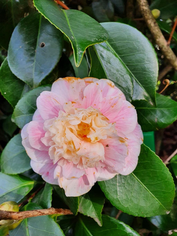 Camellia - choix & conseils de culture - Page 3 20210190