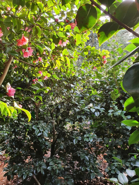 Camellia - choix & conseils de culture - Page 3 20210192