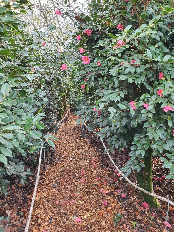 Camellia - choix & conseils de culture - Page 3 20210195