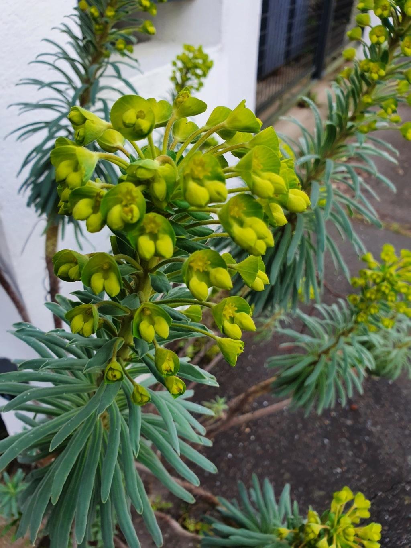 Euphorbia characias - Page 4 20210216