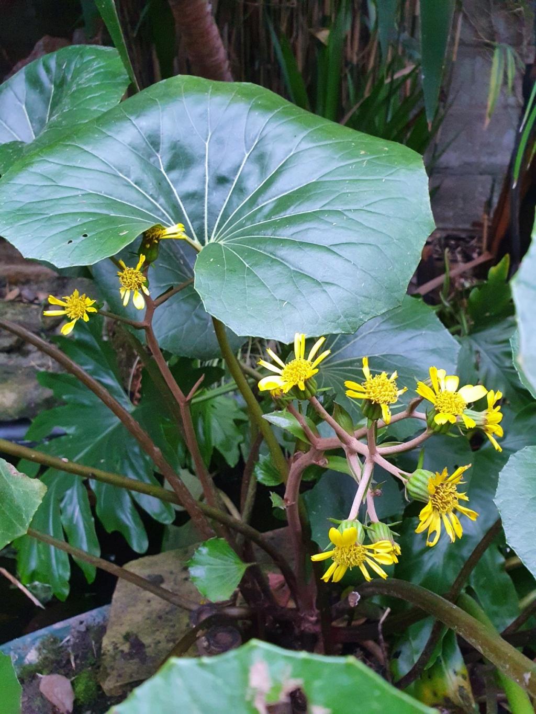 Farfugium japonicum (= Ligularia kaempferi) - Page 5 20210229