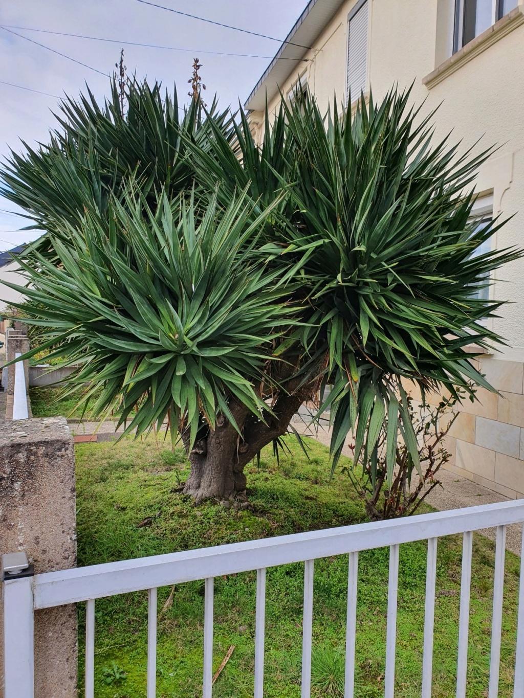 Yucca gloriosa - Page 6 20210256