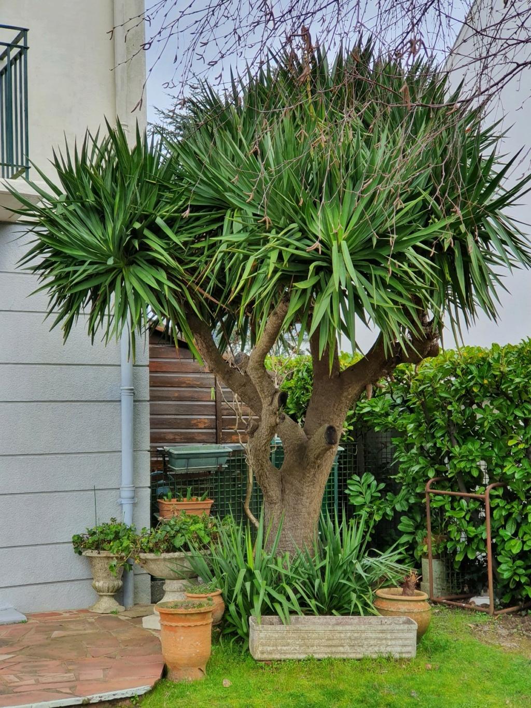 Yucca gloriosa - Page 6 20210257