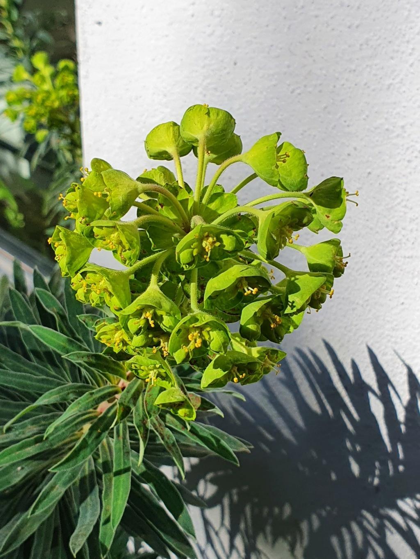 Euphorbia characias - Page 4 20210285