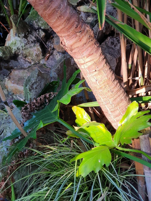Philodendron bipinnatifidum - selloum - Page 3 20210287
