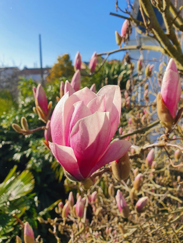 Magnolia x soulangeana 20210302