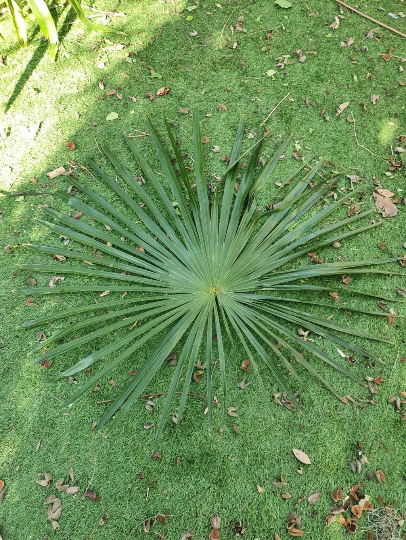 Trachycarpus fortunei - Page 13 20210303