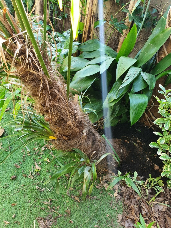 Trachycarpus fortunei - Page 13 20210313