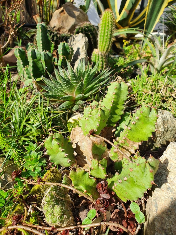 Euphorbia resinifera - Page 4 20210332