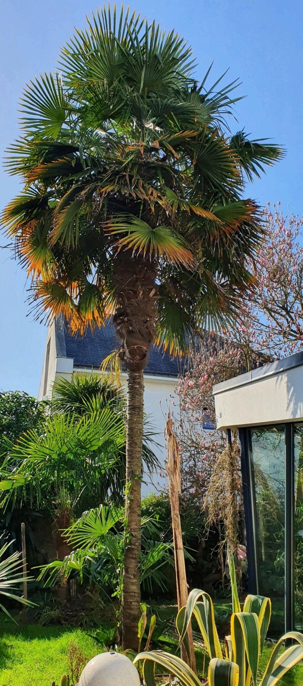 Trachycarpus fortunei - Page 13 20210352