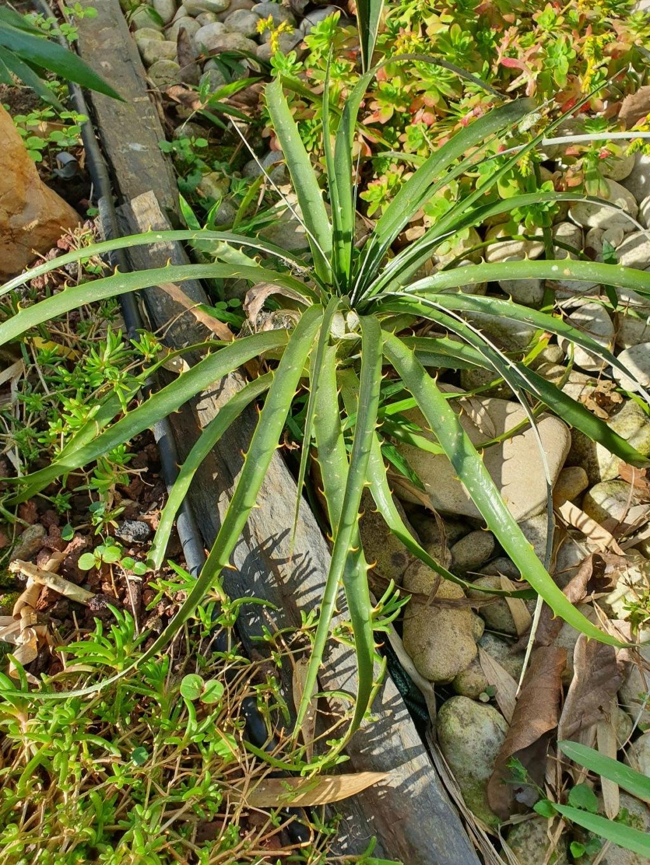 Puya chilensis - Page 2 20210353