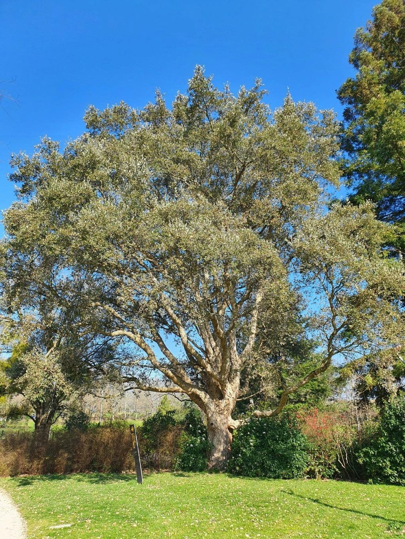 Quercus suber - chêne liège - Page 4 20210354