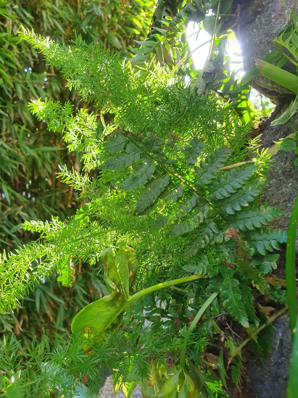 Asparagus densiflorus 'Meyersii' - Page 2 20210358