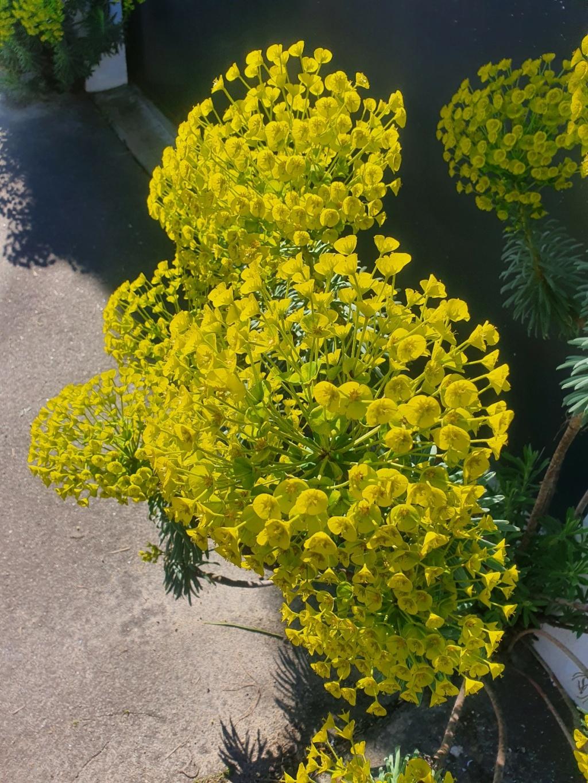 Euphorbia characias - Page 4 20210371