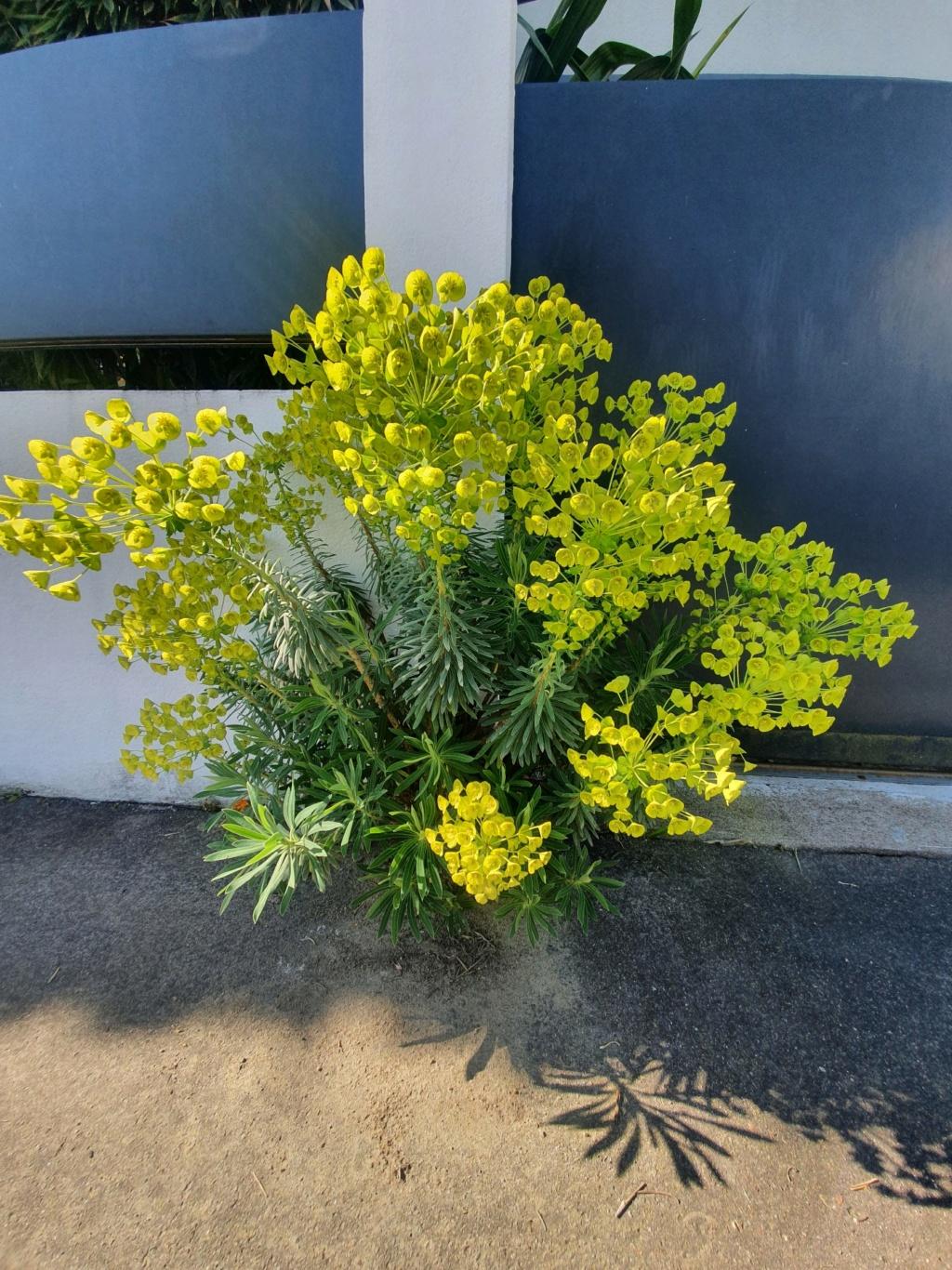 Euphorbia characias - Page 4 20210373