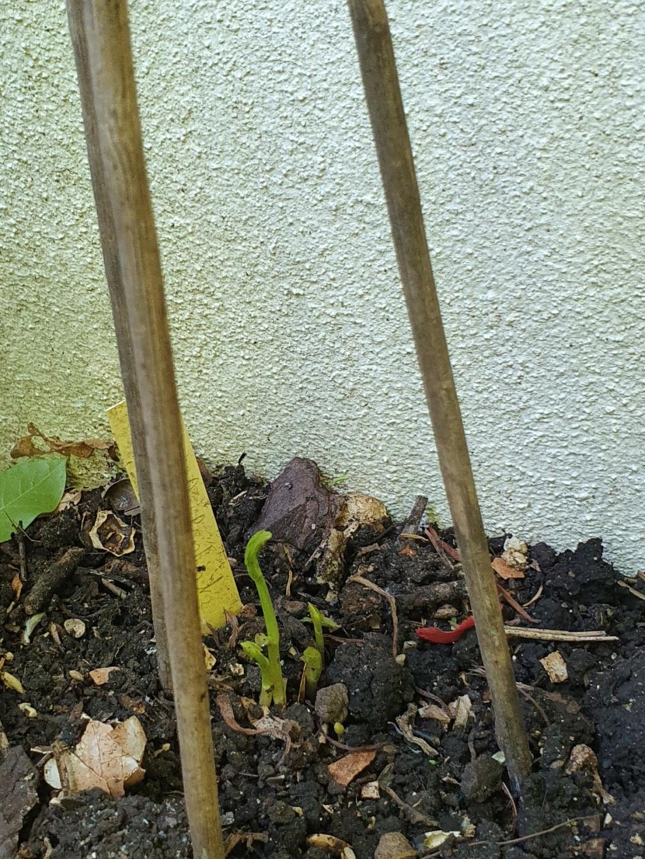 Aristolochia fimbriata 20210376
