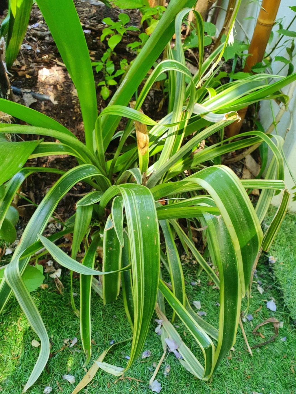 Billbergia nutans variegata 20210378