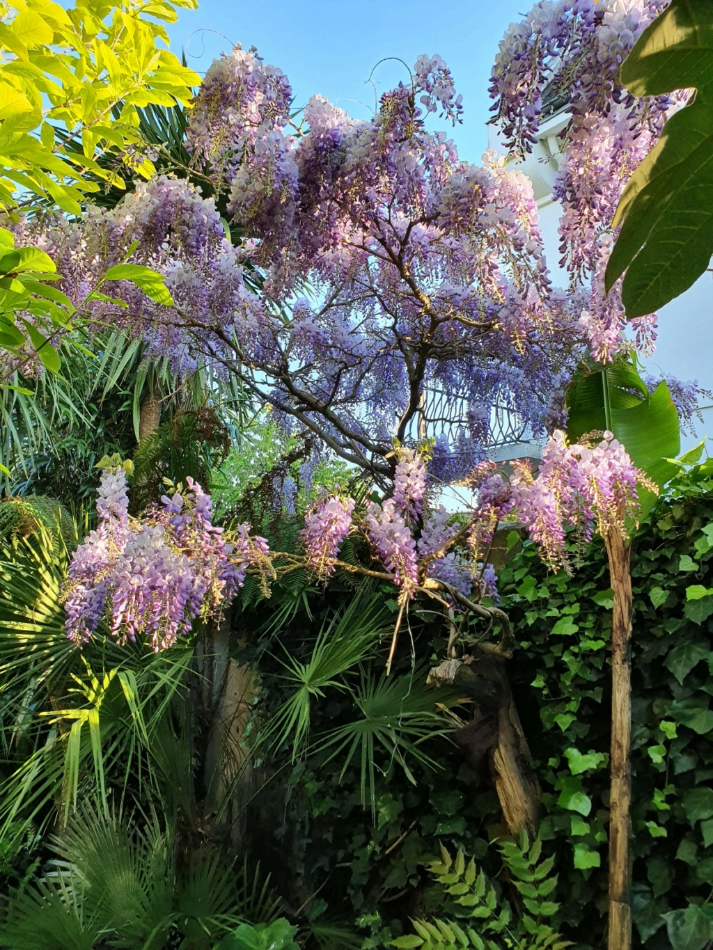 Wisteria - les glycines  - Page 10 20210411