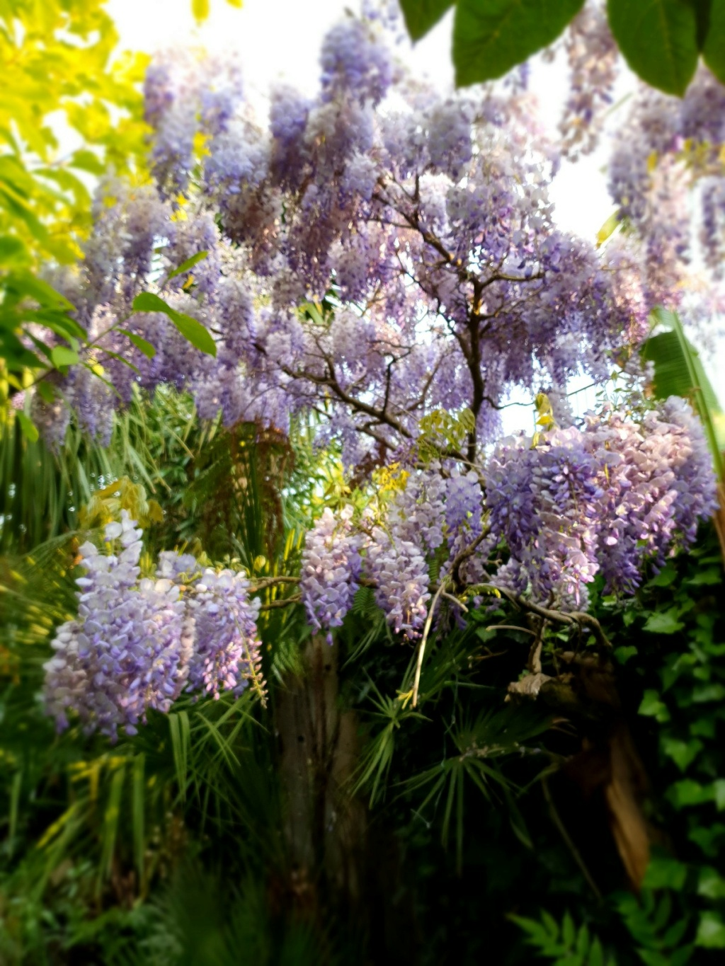 Wisteria - les glycines  - Page 10 20210412